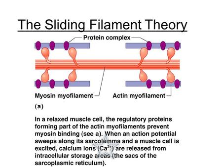 The Sliding Filament Theory. Troponin complex The Sliding Filament Theory.