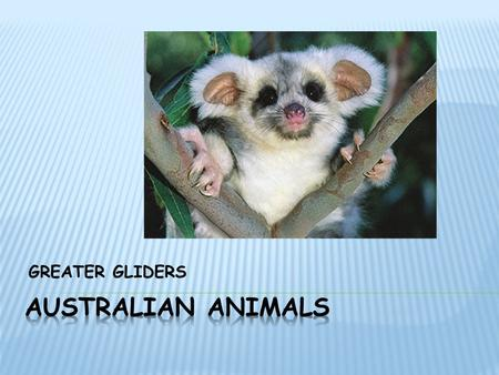 GREATER GLIDERS. The greater gliders head and body length is 400mm and its tail length is 500mm it weighs up to 1.5kg. They are covered in shaggy fur.