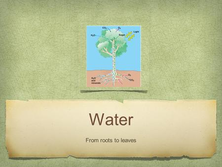 Water From roots to leaves. Transpiration Transpiration is the process of water movement through a plant and its evaporation as water vapor from aerial.
