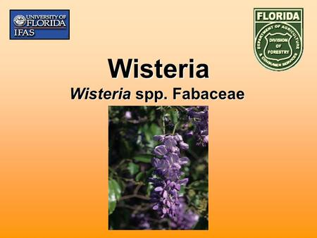 Wisteria Wisteria spp. Fabaceae. Biology Introduced to U.S. in 1800's from China and JapanIntroduced to U.S. in 1800's from China and Japan Climbing,