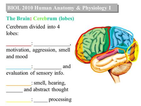 BIOL 2010 Human Anatomy & Physiology I The Brain: Cerebrum (lobes) Cerebrum divided into 4 lobes: _________: _____________, motivation, aggression, smell.