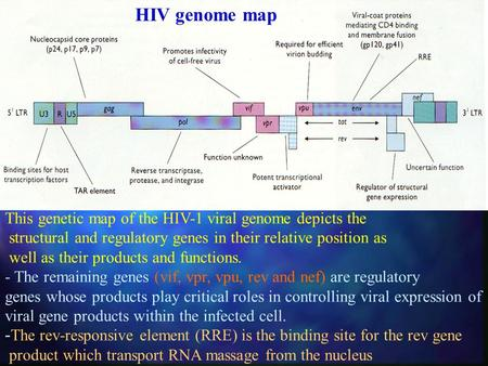 HIV genome map This genetic map of the HIV-1 viral genome depicts the