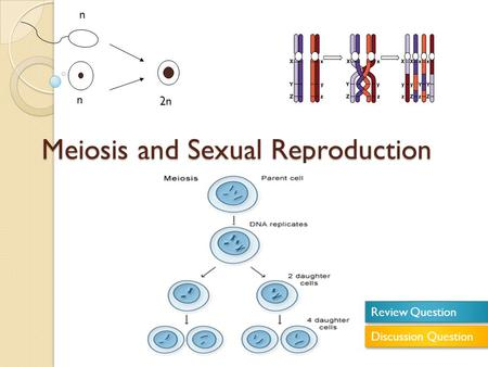 Meiosis and Sexual Reproduction n n 2n Review Question Discussion Question.
