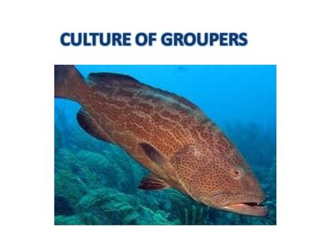Groupers -family - Epinephelidae. The major species for culture are Common nameScientific nameCountryProduction (tonnes) Greasy grouper/brown spotted.