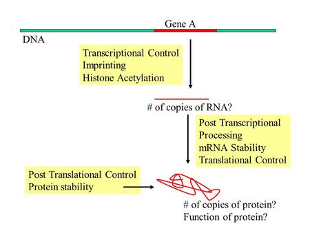 DNA Gene A Transcriptional Control Imprinting Histone Acetylation # of copies of RNA? Post Transcriptional Processing mRNA Stability Translational Control.