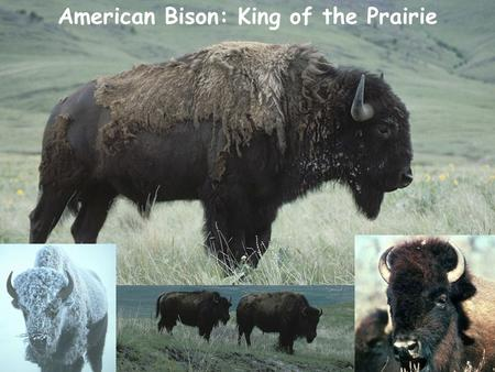 American Bison: King of the Prairie