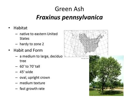 Green Ash Fraxinus pennsylvanica Habitat – native to eastern United States – hardy to zone 2 Habit and Form – a medium to large, deciduous tree – 60' to.