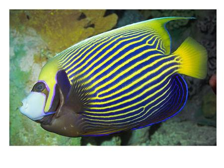 Angelfish Over 70 different species of Angelfish are found in warm ocean waters around much of the world; a few species are from fresh water. Angelfish.