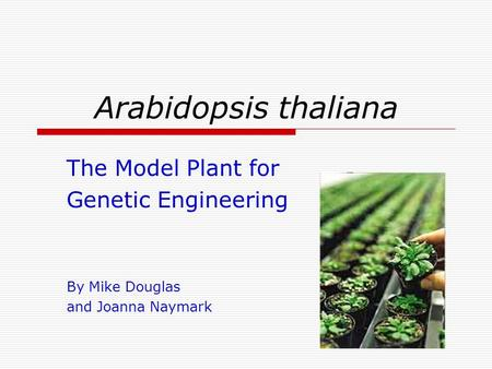 Arabidopsis thaliana The Model Plant for Genetic Engineering By Mike Douglas and Joanna Naymark.