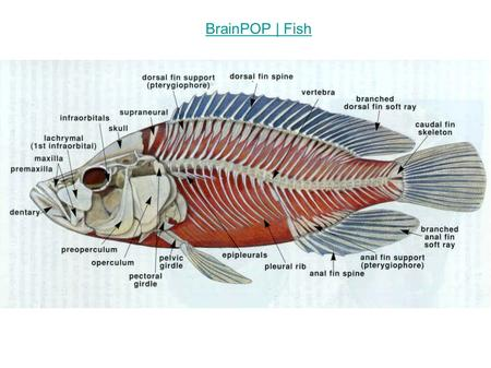 BrainPOP | Fish. Marine Fishes Structurally simplest of all living vertebrates Probably evolved from sea squirt larvae About 24,000 species known (most.