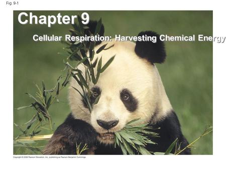 Fig. 9-1 Chapter 9 Cellular Respiration: Harvesting Chemical Energy.