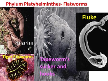 Phylum Platyhelminthes- Flatworms Tiger Flatworm Planarian Tapeworm's sucker and hooks Planarian Fluke.