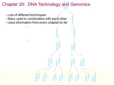Chapter 20: DNA Technology and Genomics - Lots of different techniques - Many used in combination with each other - Uses information from every chapter.