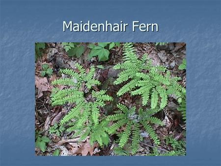 Maidenhair Fern. Bromeliad African Lily Aglaonema, Chinese Evergreen.