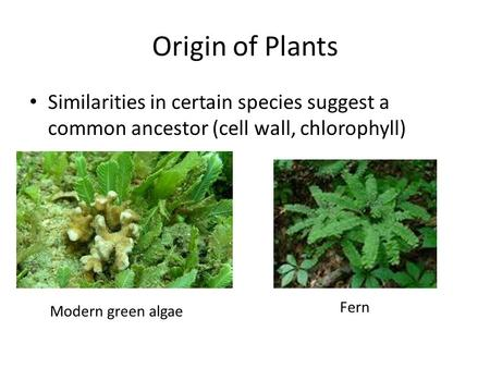 Similarities in certain species suggest a common ancestor (cell wall, chlorophyll) Origin of Plants Modern green algae Fern.
