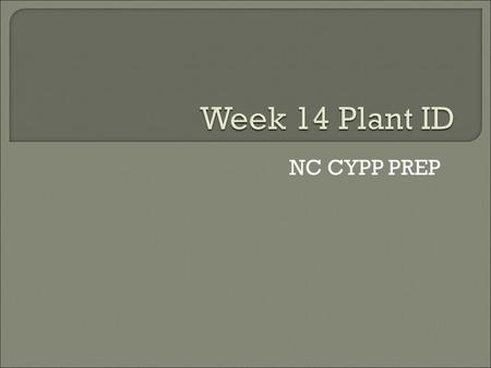 NC CYPP PREP.  Common name: Norfolk Island pine  Size: 2-6 ft.  Form: symmetrical pyramid, branches emerging from trunk in regular patterns.  Exposure: