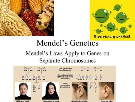 Mendel's Laws Apply to Genes on Separate Chromosomes