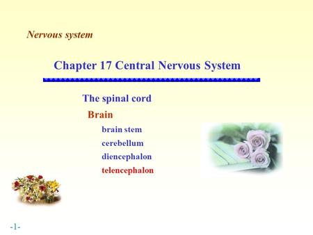 -1- Nervous system Chapter 17 Central Nervous System The spinal cord Brain brain stem cerebellum diencephalon telencephalon.