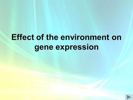Effect of the environment on gene expression. Temperature Can affect enzymes systems. –E.g. Himalayan rabbits – colour gene not expressed in warmer areas.