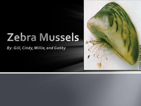 "By: Gill, Cindy, Millie, and Gabby. º Zebra Mussels are from Eurasia and came into the Great Lakes as hitchhikers,"" were brought here on accident, in."