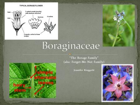 ". ""The Borage Family"" (aka: Forget-Me-Not Family) Jennifer Ringgold."