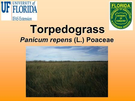 Torpedograss Panicum repens (L.) Poaceae. Biology Native to Africa and or AsiaNative to Africa and or Asia Introduced into Florida in late 1800's as a.