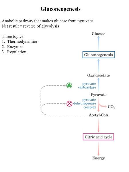 Gluconeogenesis Anabolic pathway that makes glucose from pyruvate Net result = reverse of glycolysis Three topics: 1. Thermodynamics 2. Enzymes 3. Regulation.