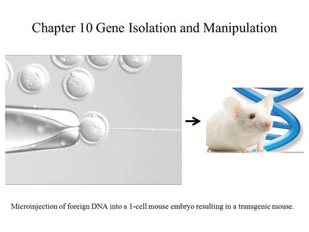Chapter 10 Gene Isolation and Manipulation Microinjection of foreign DNA into a 1-cell mouse embryo resulting in a transgenic mouse.