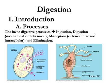 Digestion I. Introduction A. Processes The basic digestive processes  Ingestion, Digestion (mechanical and chemical), Absorption (extra-cellular and intracellular),