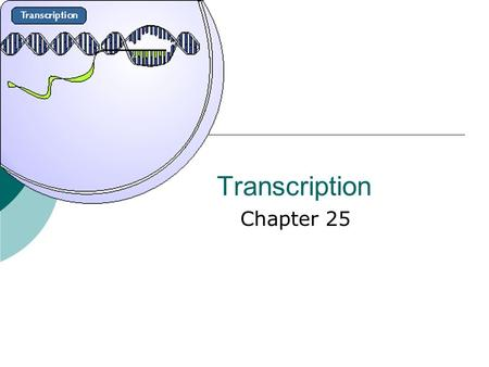 Transcription Chapter 25. Objectives  Understand the process of transcription  Recognize the role of RNA Polymerase  Recognize the significance of.