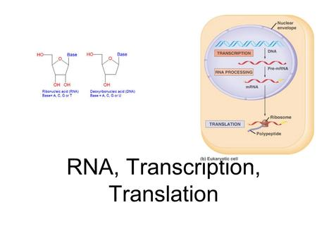 RNA, Transcription, Translation. How is RNA different from DNA 1. RNA= Ribonucleic acid vs deoxyribonucleic acid 2. sugars= ribose vs deoxyribose.