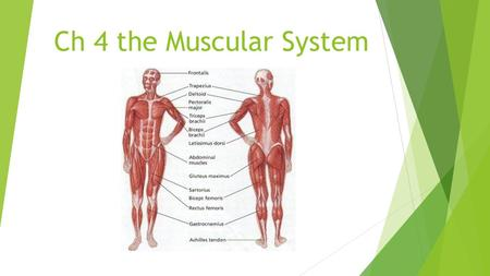 Ch 4 the Muscular System. Overview  Muscles: my/o, myos/o> Make body movement possible, hold body erect, move body fluids, and produce body heat.  Fascia: