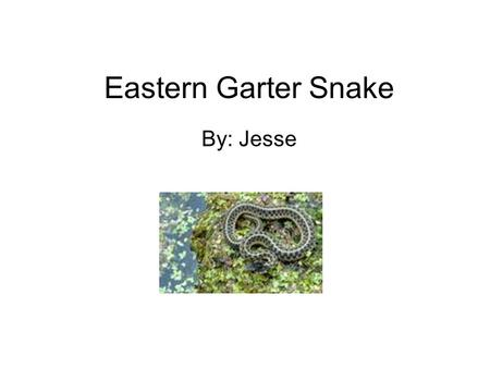 Eastern Garter Snake By: Jesse. 2 TABLE OF CONTENTS MEET THE Eastern Garter Snake….3 HOME SWEET HOME …..4 DINNER TIME……………..5 ANIMAL ADAPTATIONS…6 LABELS…………………….7.