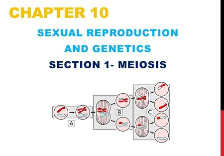 CHAPTER 10 SEXUAL REPRODUCTION AND GENETICS SECTION 1- MEIOSIS.