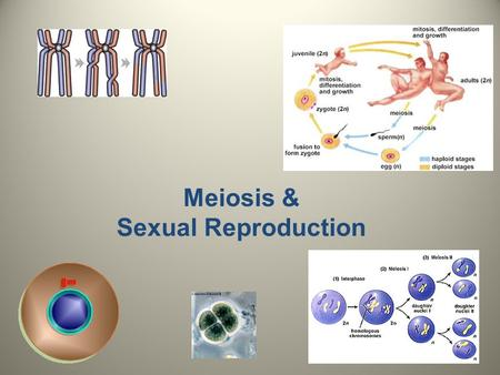 Meiosis & Sexual Reproduction.