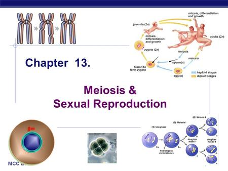 MCC BP Based on work by K. Foglia www.kimunity.com Chapter 13. Meiosis & Sexual Reproduction.