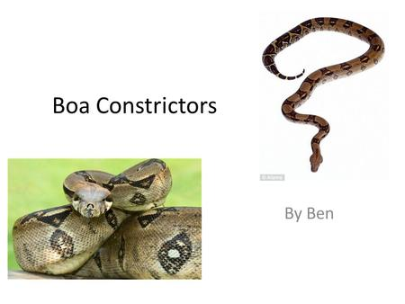 Boa Constrictors By Ben. boa Boa's are not poisonous but just as deadly. They use their flicking tongue and its scales to pick up the scent of prey.