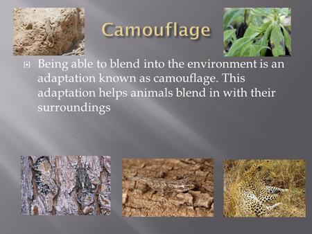  Being able to blend into the environment is an adaptation known as camouflage. This adaptation helps animals blend in with their surroundings.