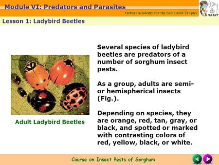 Several species of ladybird beetles are predators of a number of sorghum insect pests. As a group, adults are semi- or hemispherical insects (Fig.). Depending.