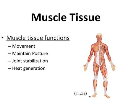 Muscle Tissue Muscle tissue functions – Movement – Maintain Posture – Joint stabilization – Heat generation (11.5a)
