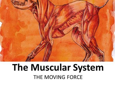 The Muscular System THE MOVING FORCE. MYOLOGY – THE STUDY OF MUSCLES  Myo – refers to muscle my/o – muscle myositis – inflammation of voluntary muscle.
