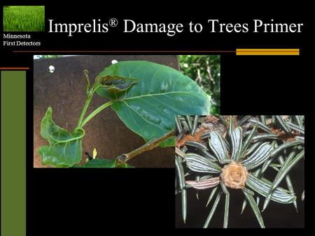 Minnesota First Detectors Imprelis ® Damage to Trees Primer.
