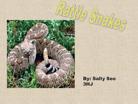 By: Sally Seo 3HJ. I will be presenting about rattle snakes. Rattle Snakes are a group of vertebrates called reptiles. You are going to learn about facts.