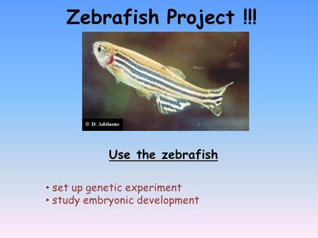 Zebrafish Project !!! Use the zebrafish set up genetic experiment