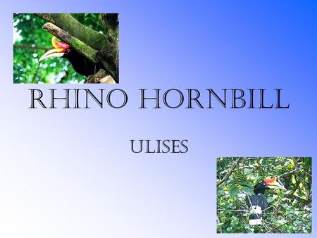 Rhino Hornbill Ulises. Table of Contents Habitat Food and Water Daily Behavior Family Structures Interesting Facts Bibliography.