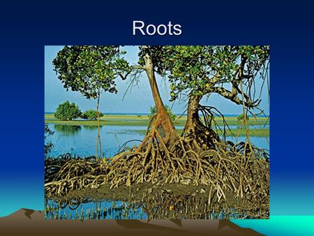 Roots. Roots Originally deemed the part of the plant that grew underground, but with the evolution of aerial roots (ones that grow above ground) and aerating.