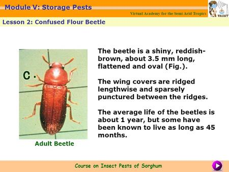The beetle is a shiny, reddish- brown, about 3.5 mm long, flattened and oval (Fig.). The wing covers are ridged lengthwise and sparsely punctured between.
