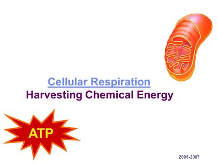 2006-2007 Cellular Respiration Cellular Respiration Harvesting Chemical Energy ATP.