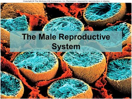 27-1 The Male Reproductive System. Objectives: By the end of this session, students will be able to: Differentiate between primary and secondary sex organs.