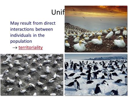 Uniform Clumped patterns May result from direct interactions between individuals in the population  territoriality.